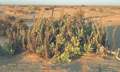 צמח עשבוני רב-שנתי של חולות המדבר הקיצוני