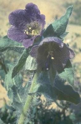 שיכרון מרושת Hyoscyamus reticulatus L.