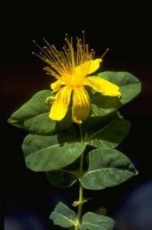 שיחים בגובה 1.5-1 מ'. העלים רחבים, אורכם 7-2 ס