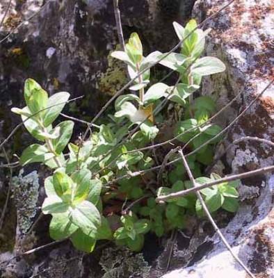 פרע צמיר Hypericum lanuginosum Lam.