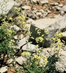 בני-שיח הגדלים בחרמון בין סלעים.