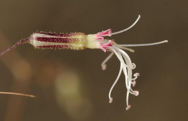 עוגנן נימי Ankyropetalum gypsophiloides Fenzl