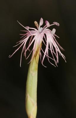 ציפורן סיני Dianthus sinaicus Boiss.