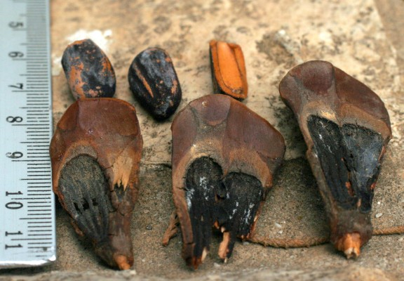 אורן הצנובר Pinus pinea L.