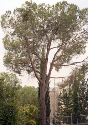 Pinus pinea L.