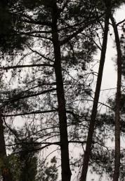 ענפי העץ יוצאים בזווית ישרה לגזע העיקרי.