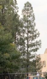 הענפים הצדדיים ערוכים בדורים.