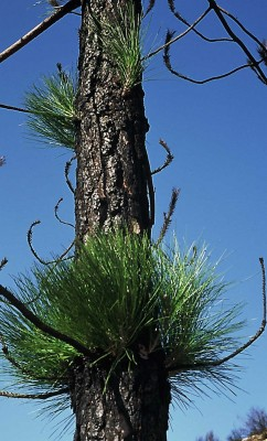 Pinus canariensis C. Smith