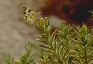 צמחים דביקים בעלי שערות בלוטיות צפופות. עלי הגבעול צפופים, שטוחים כמעט ובעלי קוצים צדדיים ליד בסיס העלה.