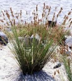 הגבעול חסר עלים וכל העלים בבסיס הצמח דוקרניים בראשם.