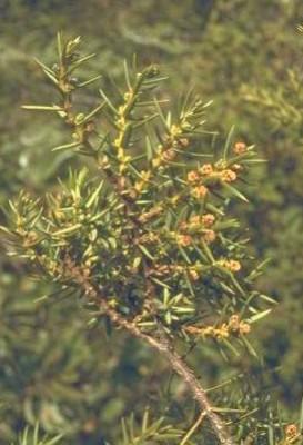 ערער ארזי Juniperus oxycedrus L.