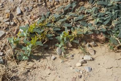 צמחים שרועים, מכוסים שערות בהירות, גדלים בדרום הנגב ודרום הערבה.