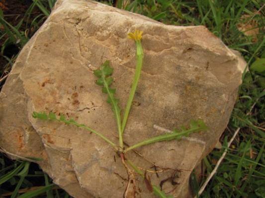 חזרזרת מחוספסת Hyoseris scabra L.