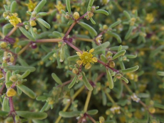 Tetraena simplex (L.) Beier & Thulin
