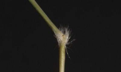 מפרקי הגבעול שעירים, השערות אינן מפושקות.