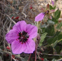 צמחים שעירים, השערות קצרות. אורך עלי-הכותרת  15-10 (-20) מ