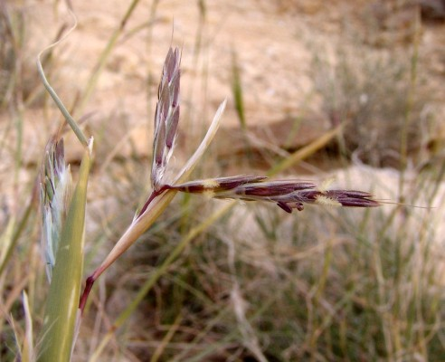Cymbopogon commutatus (Steud.) Stapf