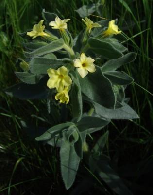 Alkanna galilaea Boiss.