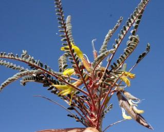 צמחי מדבר, אורך העלים 7-5 ס