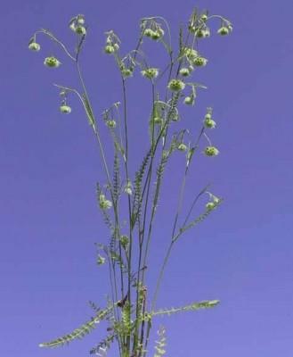 נוצנית כדורית Lagoecia cuminoides L.
