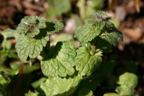 נזמית לופתת Lamium amplexicaule L.