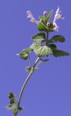 נזמית מקווקוות Lamium garganicum L.