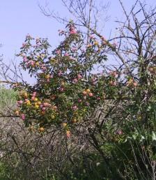שיחים, מטפסים הגדלים בפרדסים נטושים. פרחים צעירים צהובים ולאחר ההפריה מוורידים-מאדימים.