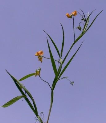 Lathyrus annuus L.