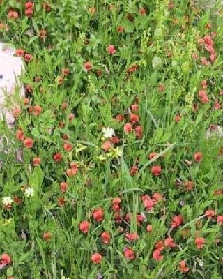 טופח שעיר-פרי Lathyrus hirticarpus Mattatia & Heyn