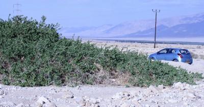 שיחים ירוקי-עד קירחים, עשויים להגיע ל10-5 מ' קוטר.