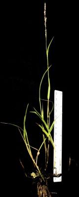 בן-חילף הביצות Eragrostis sarmentosa (Thunb.) Trin.