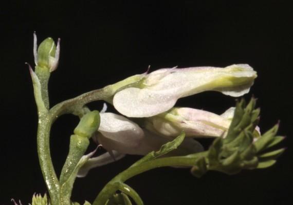 עשנן גדול-פרי Fumaria macrocarpa Parl.