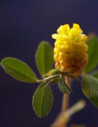 פרחי הקרקפת הצעירים צהובים וזקופים; התחתונים משחימים וכותרתם פונה כלפי מטה.