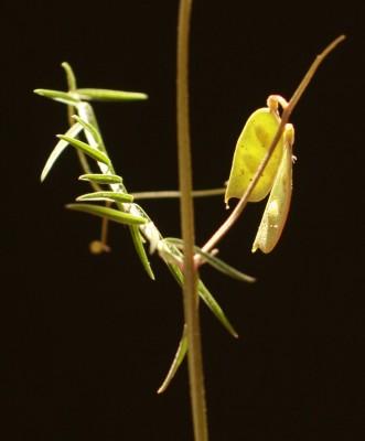 בקיה ארץ-ישראלית Vicia palaestina Boiss.