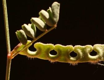 הפרי ישר; הפירות על פי רוב בודדים. פתחי המפרצים פונים כלפי הצד הקעור של הפרי. ראש העלעל קטוע או בעל שקע קטן.