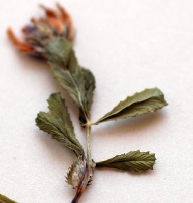 Trifolium glanduliferum Boiss.
