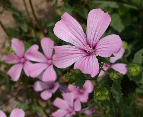 Lavatera trimestris L.