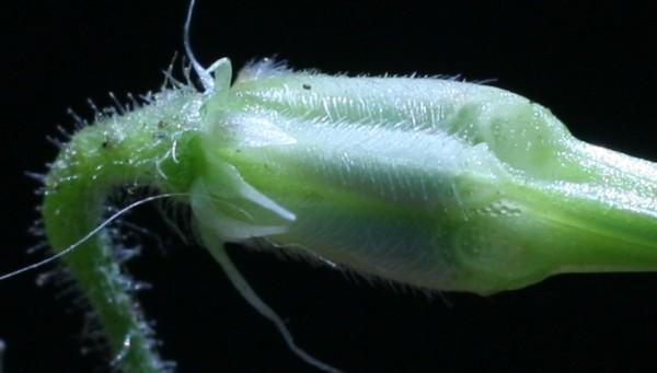 Erodium moschatum (L.) L'Her.
