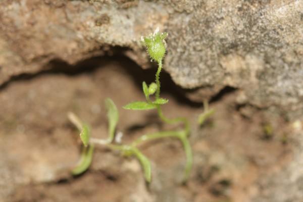 בקעצור שלוש-האונות Saxifraga tridactylites L.