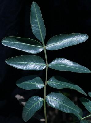 אלה אטלנטית Pistacia atlantica Desf.