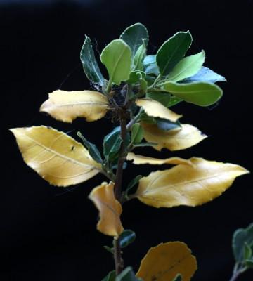 אשחר רחב-עלים Rhamnus alaternus L.