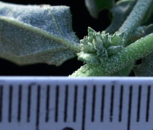 צמחים ירוקים. אורך חפיות הפרי הבשלות 3-2 מ