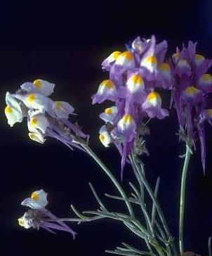 פשתנית ססגונית Linaria haelava (Forssk.) Delile
