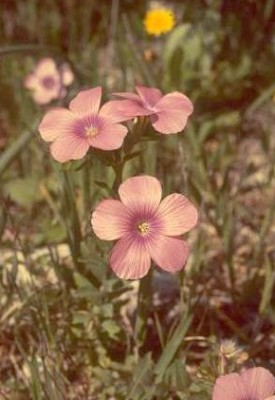 פשתה שעירה Linum pubescens Banks & Sol.
