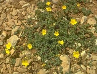 הפרחים נישאים בודדים בראשי ענפים צבע עלי-הכותרת צהוב-לימון, אורכם פחות מ-2 ס