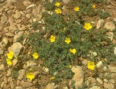 פשתה ארסית Linum toxicum Boiss.