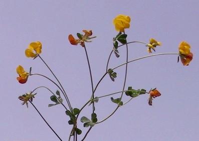 Lotus longesiliquosus R. Roem.