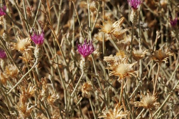 Centaurea damascena Boiss.