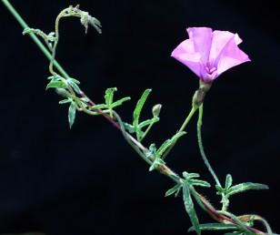 העלים (לפחות העליונים) בעלי אונות דמויות סרגל, ארוכות, קהות בראשן פחות או יותר.