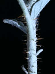 השיכים דקים, ישרים וניצבים לגבעולים  או לעורקי העלים.